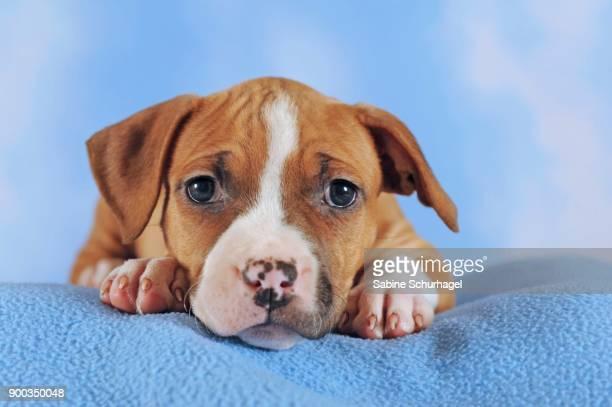 american staffordshire terrier, puppy, 7 weeks old, red-white - american staffordshire terrier stockfoto's en -beelden