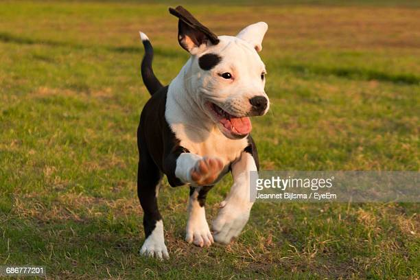 American Staffordshire Terrier Puppy Running On Field At Park