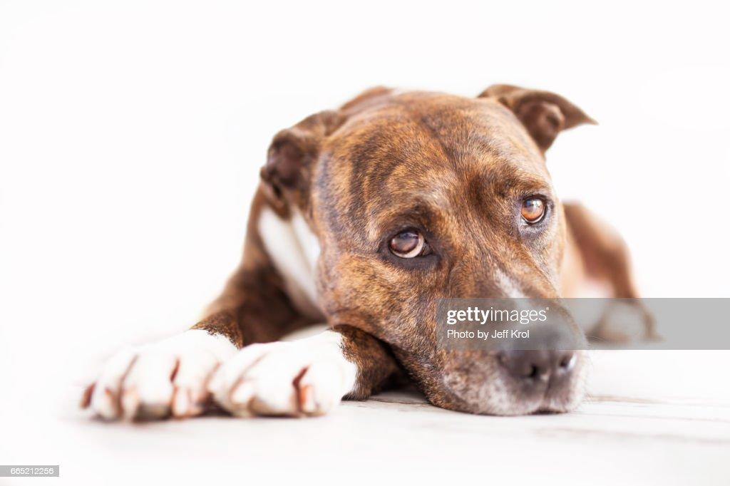 American staffordshire terrier, studio, looking into camera. : Stock Photo