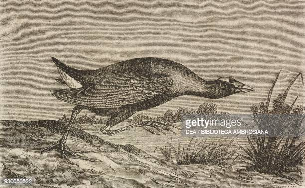 American Sultan chicken Florida United States of America drawing by Mesnel from Four months in Florida 18511852 by Poussielgue Achille from Il Giro...