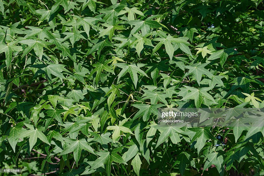 American sweetgum foliage : Stockfoto