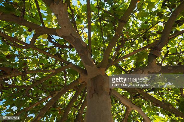 american sycamore or american plane tree -platanus occidentalis- with fruits, germany - sycamore tree stock photos and pictures