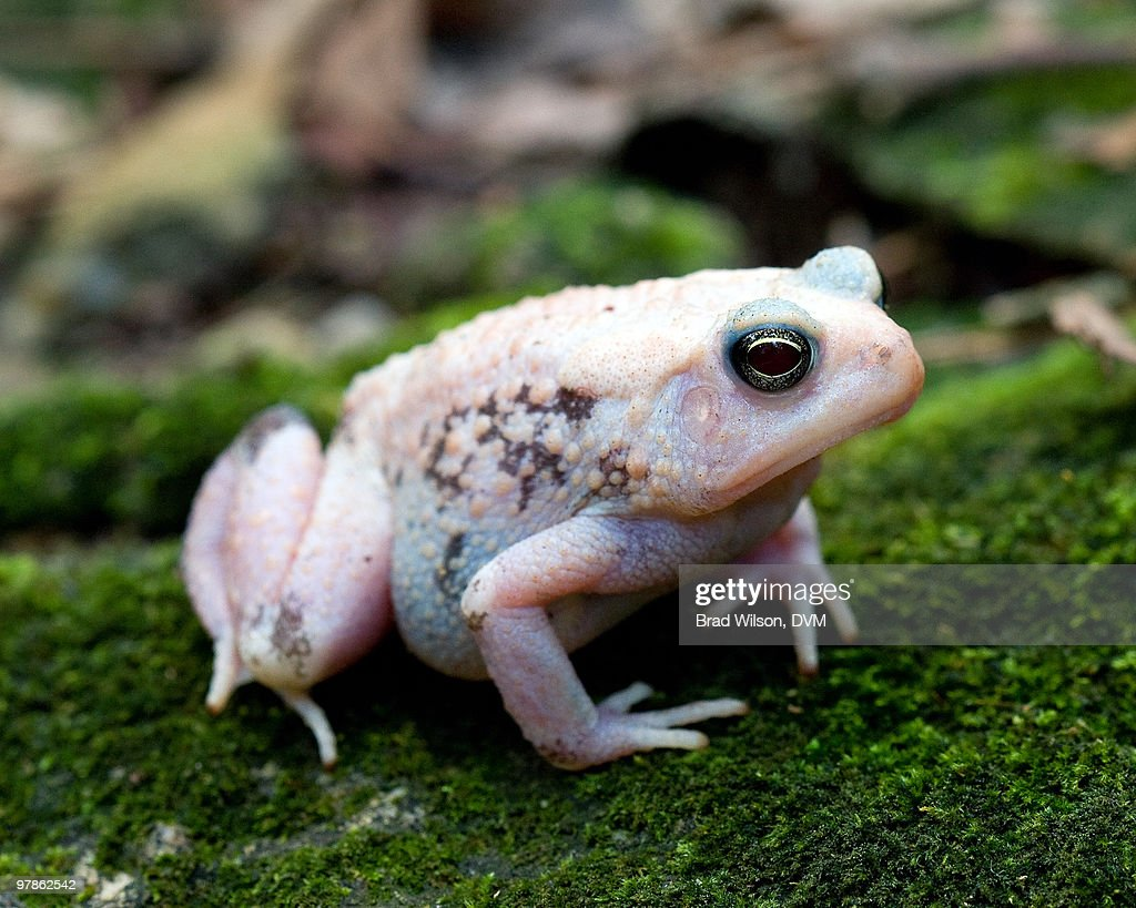 American Toad, Bufo americanus : Stock Photo