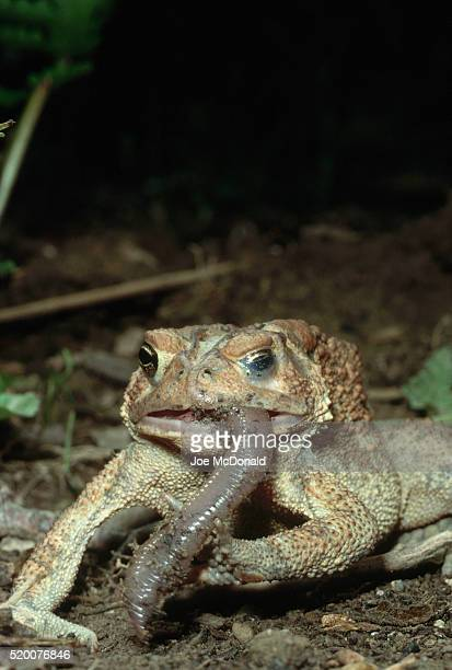 American Toad Eating a Worm