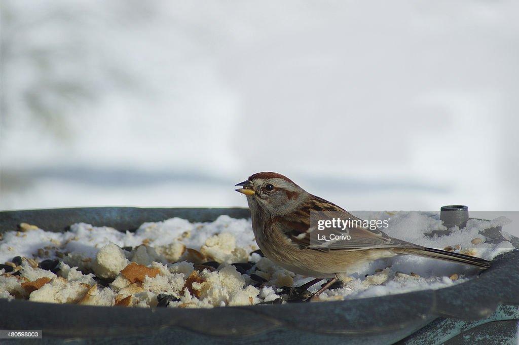 American Tree Sparrow (Spizella arborea) : Stock Photo