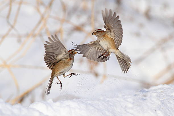 Tree sparrow in flight photos american tree sparrows wall art thecheapjerseys Image collections