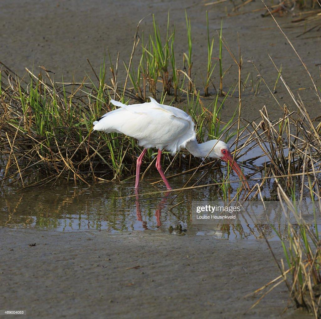 American White Ibis, Eudocimun albus : Stock Photo