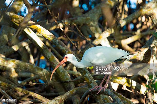 American White Ibis Eudocimus albus a wading bird on Captiva Island Florida USA