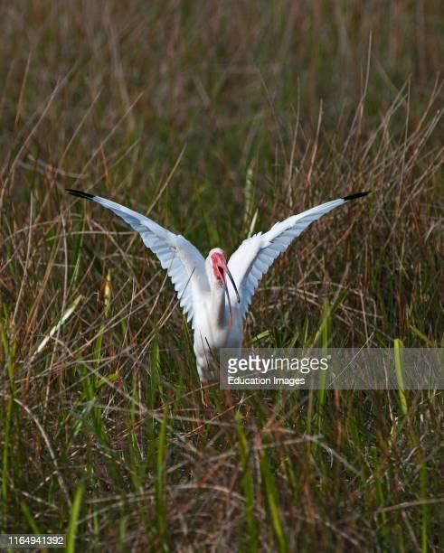 American White Ibis, Eudocimus albus, Anhinga Trail, Florida, USA.