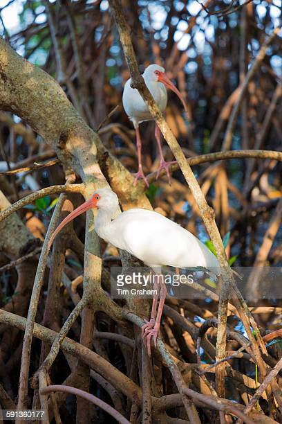 American White Ibis Eudocimus albus wading birds with long curved bill on Captiva Island Florida USA