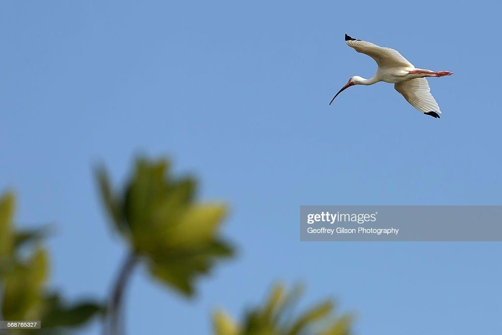 American white ibis : Stock Photo