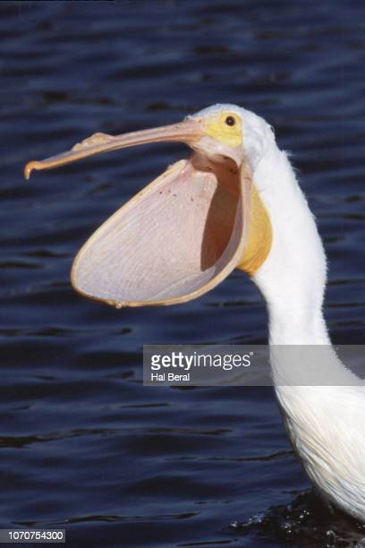 American White Pelican close-up with mouth open
