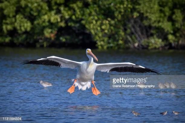American White Pelican coming in for a landing at J.N. 'Ding' Darling National Wildlife Refuge, Sanibel Island, Florida