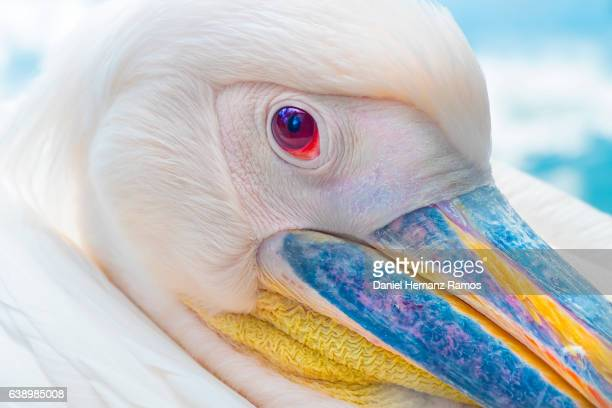 American white pelican eye close up. Pelecanus erythrorhynchos