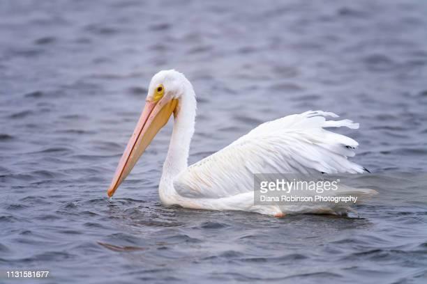 American White pelican fishing at low tide at J.N. 'Ding' Darling National Wildlife Refuge, Sanibel Island, Florida