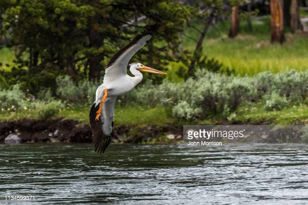 American White Pelican flying and landing