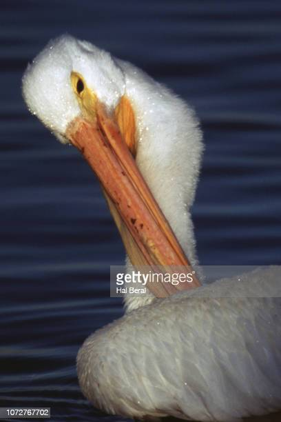 American White Pelican grooming close-up
