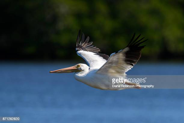 "American white pelican in flight at J. N. ""Ding"" Darling National Wildlife Refuge on Sanibel Island in the Gulf of Mexico""r"