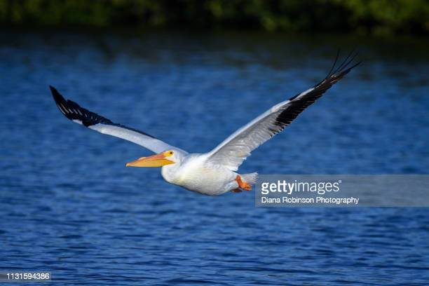 American White Pelican in flight at J.N. 'Ding' Darling National Wildlife Refuge, Sanibel Island, Florida