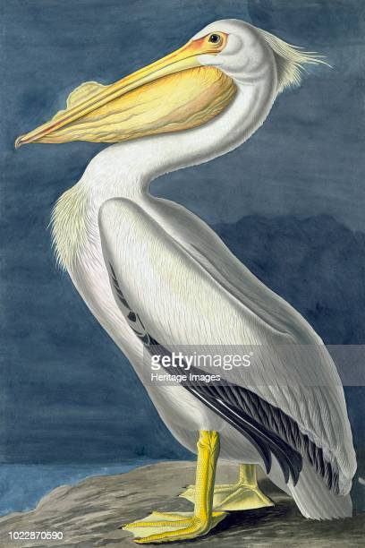 American White Pelican Pelecanus Erythrorhynchos From The Birds of America by John J Audubon Pub 18271838