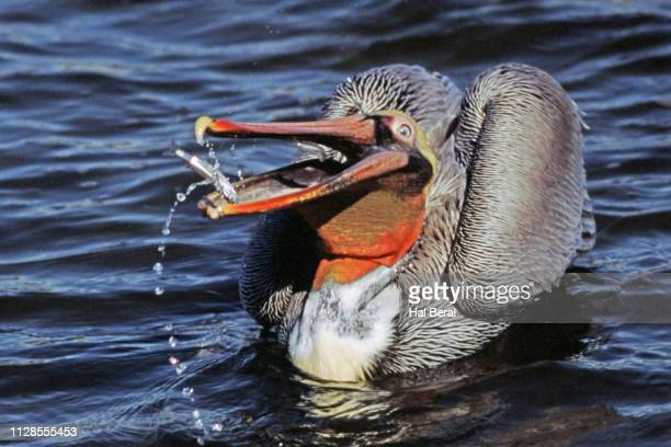 american white pelican - brown pelican stock photos and pictures