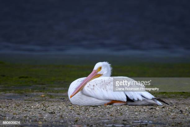 "American white pelican resting on a sandbar at low tide at J. N. ""Ding"" Darling National Wildlife Refuge, Sanibel Island, Florida"