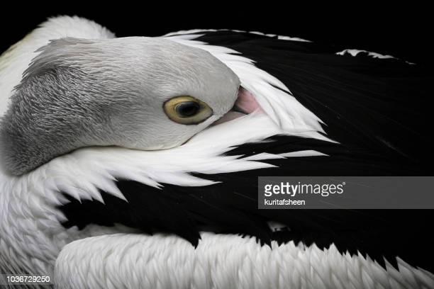 American white Pelican sleeping, Indonesia