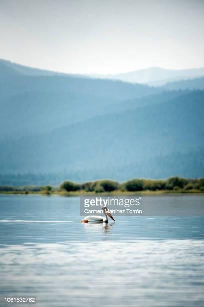 American white pelican swimming in calm lake water near Mt. Shasta, Oregon.