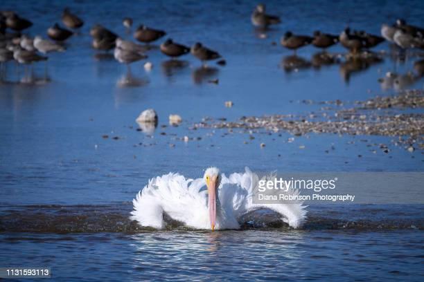 American White Pelican taking a bath at J.N. 'Ding' Darling National Wildlife Refuge, Sanibel Island, Florida