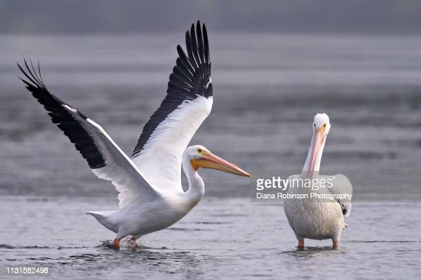 American White pelican taking flight while another pelican cheers him on at low tide at J.N. 'Ding' Darling National Wildlife Refuge, Sanibel Island, Florida