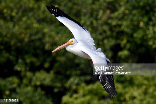 American white pelican who migrated from Colorado in flight at J.N. 'Ding' Darling National Wildlife Refuge, Sanibel Island, Florida