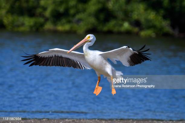 "American White pelican who migrated from Colorado landing on sandbar at J.N. ""Ding"" Darling National Wildlife Refuge; Sanibel Island; Florida"