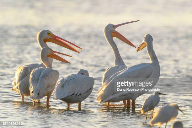 "American white pelicans after having just arrived at J. N. ""Ding"" Darling National Wildlife Refuge on Sanibel Island in the Gulf of Mexico""n"