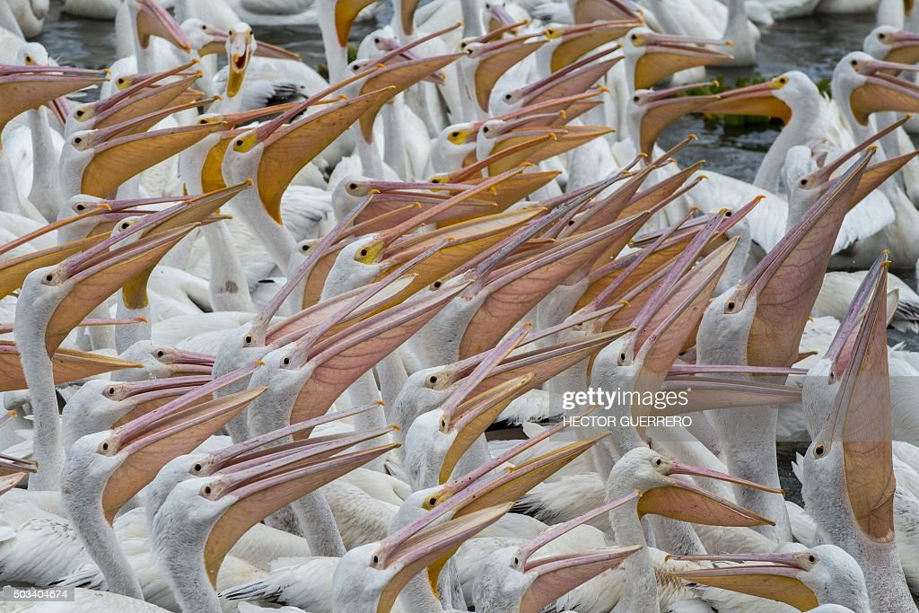 American white pelicans (Pelecanus erythrorhynchos) are seen in the waters of Lake Chapala in Cojumatlan de Regules, Michoacan State, Mexico, on January 4, 2016. Thousands of white pelicans migrate from the United States and southern Canada to Mexico during winter.