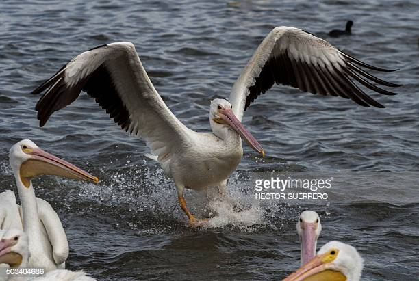 American white pelicans are seen in the waters of Lake Chapala in Cojumatlan de Regules Michoacan State Mexico on January 4 2016 Thousands of white...
