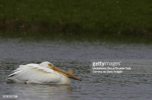 American White Pelicans flocked to the Eagle Trace Golf Course to weather the coming snow storm on Thursday