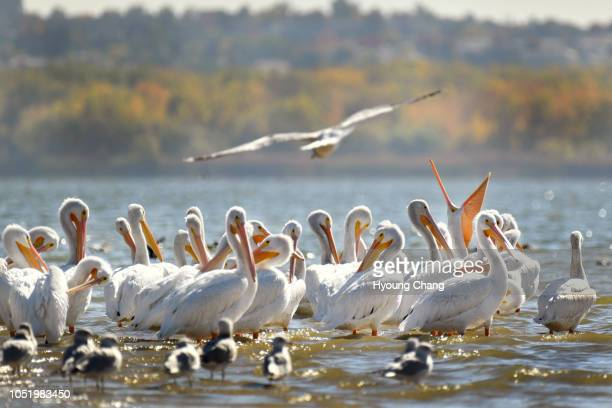 American white pelicans gather at Cherry Creek Reservoir October 12 2018