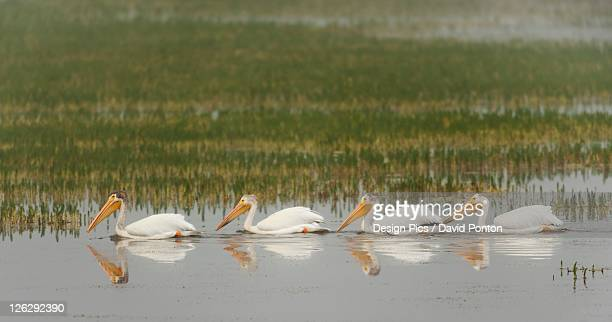 american white pelicans (pelecanus erythrorhynchos) swim in a line on a misty morning on the yellowstone river