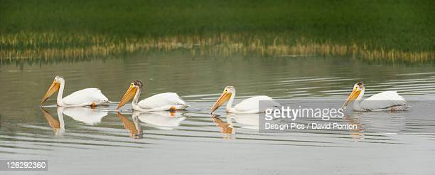 american white pelicans swim in a line on the yellowstone river