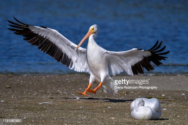 American White pelicanwho migrated from Colorado landing on sandbar at J.N. 'Ding' Darling National Wildlife Refuge; Sanibel Island; Florida
