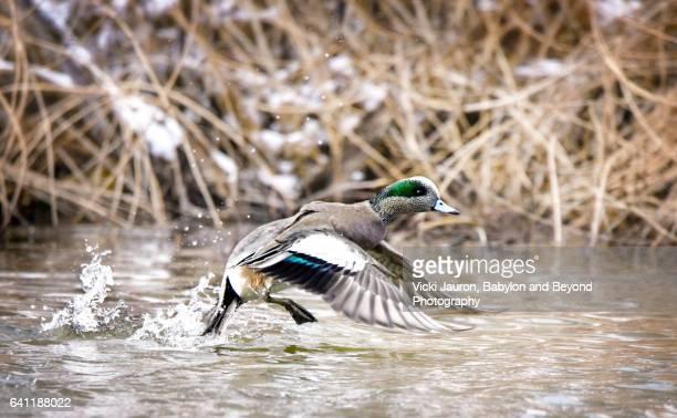 American Wigeon (Anas americana) at Avon Lake, Long Island