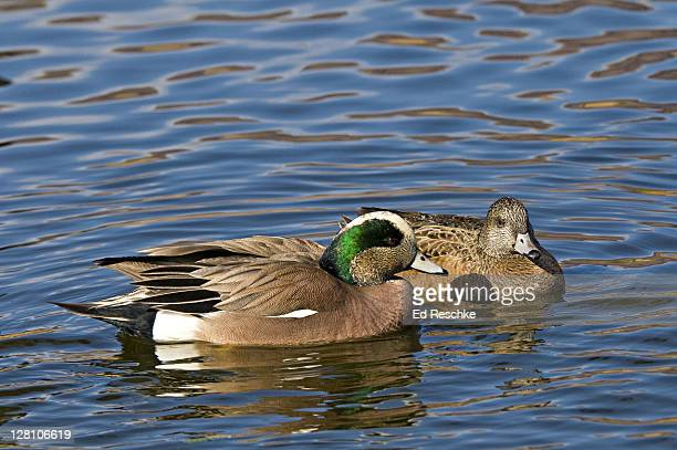 american wigeon couple, anas americana, new mexico, usa. common. a recently established breeder on the east coast. - ed reschke photography stock photos and pictures