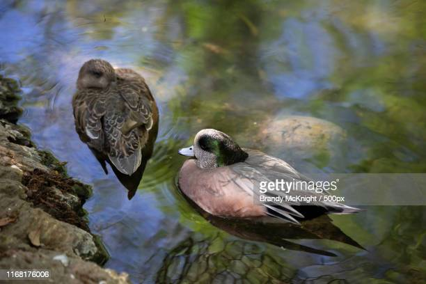 american wigeon (anas americana) drake and hen, focus on the drake - vorbeigehen stock pictures, royalty-free photos & images