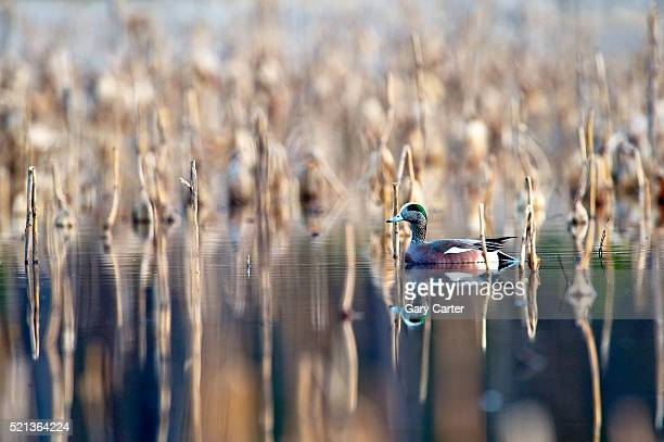 american wigeon - marsh stock pictures, royalty-free photos & images