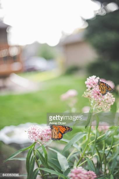 America's Heartland Monarch Butterflies on Milkweed