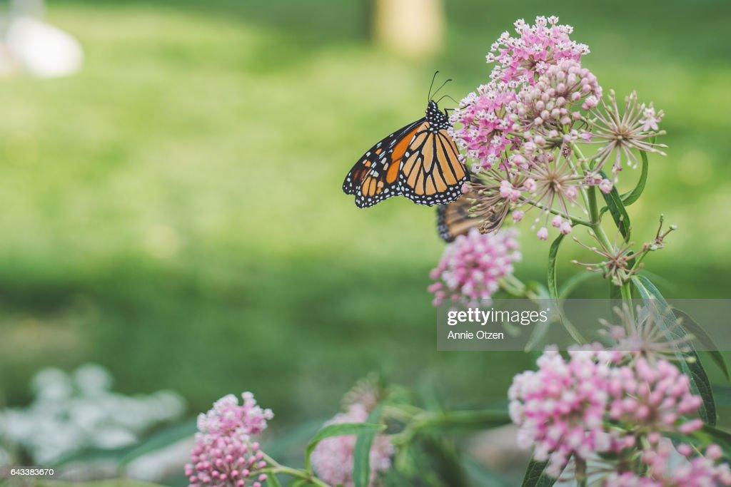 America's Heartland Monarch Butterfly on Milkweed : Stock Photo