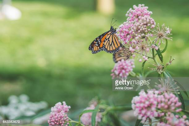 America's Heartland Monarch Butterfly on Milkweed