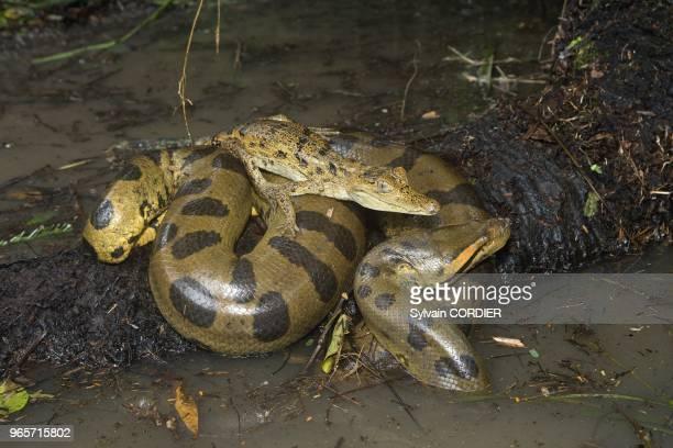 Amerique du SudBresil etat d'Amazonas bassin du fleuve Amazone Anaconda avec un Caiman a lunettes South AmericaBrazil Amazonas state Manaus Amazon...