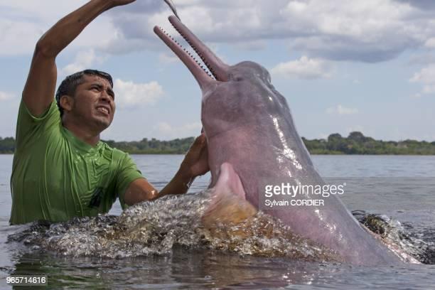 Amerique du SudBresil etat d'Amazonas bassin du fleuve Amazone le long du Rio Negro Dauphin de l'Amazone ou boto ou dauphin rose de l'Amazone ou...