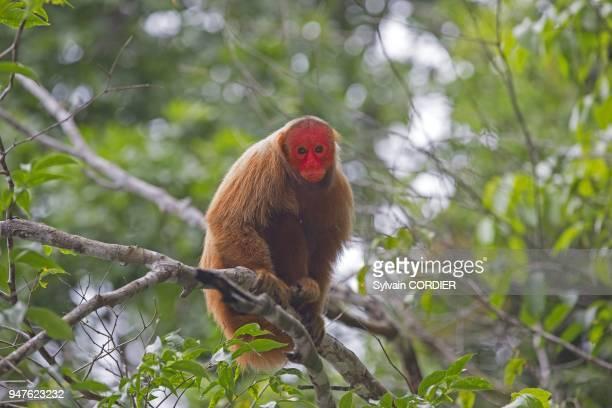 Amerique du SudBresil etat d'Amazonas bassin du fleuve Amazone Ouakari chauve South AmericaBrazil Amazonas state Manaus Amazon river basin Bald Uakari
